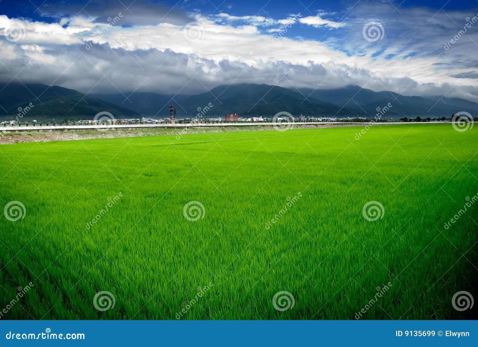 Green rice farm and blue sky