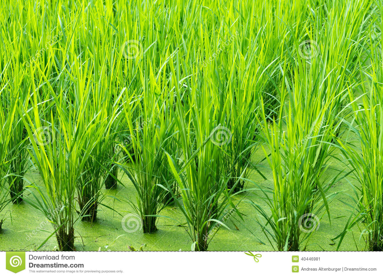 Green rice field background stock image image of growth pattern green rice field background growth pattern toneelgroepblik Gallery