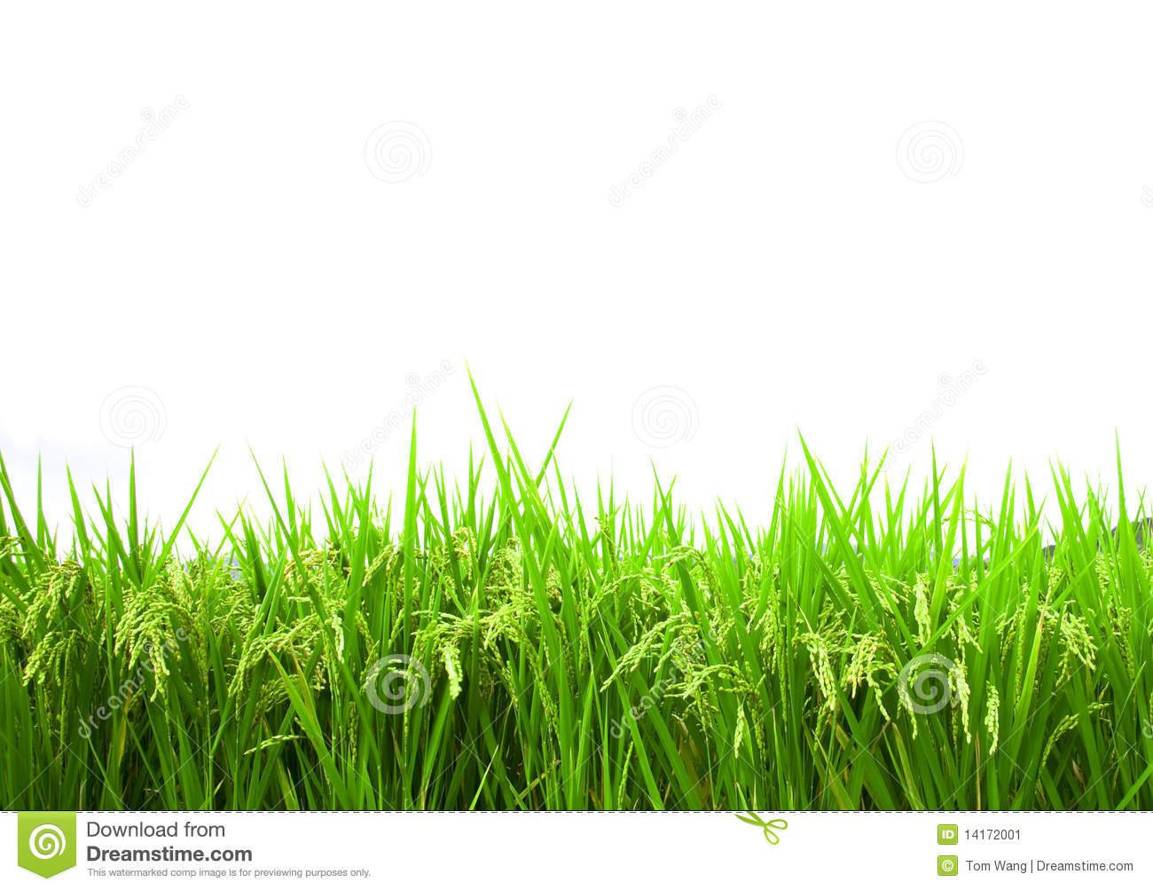 Green rice field isolated on white background stock image image of download comp toneelgroepblik