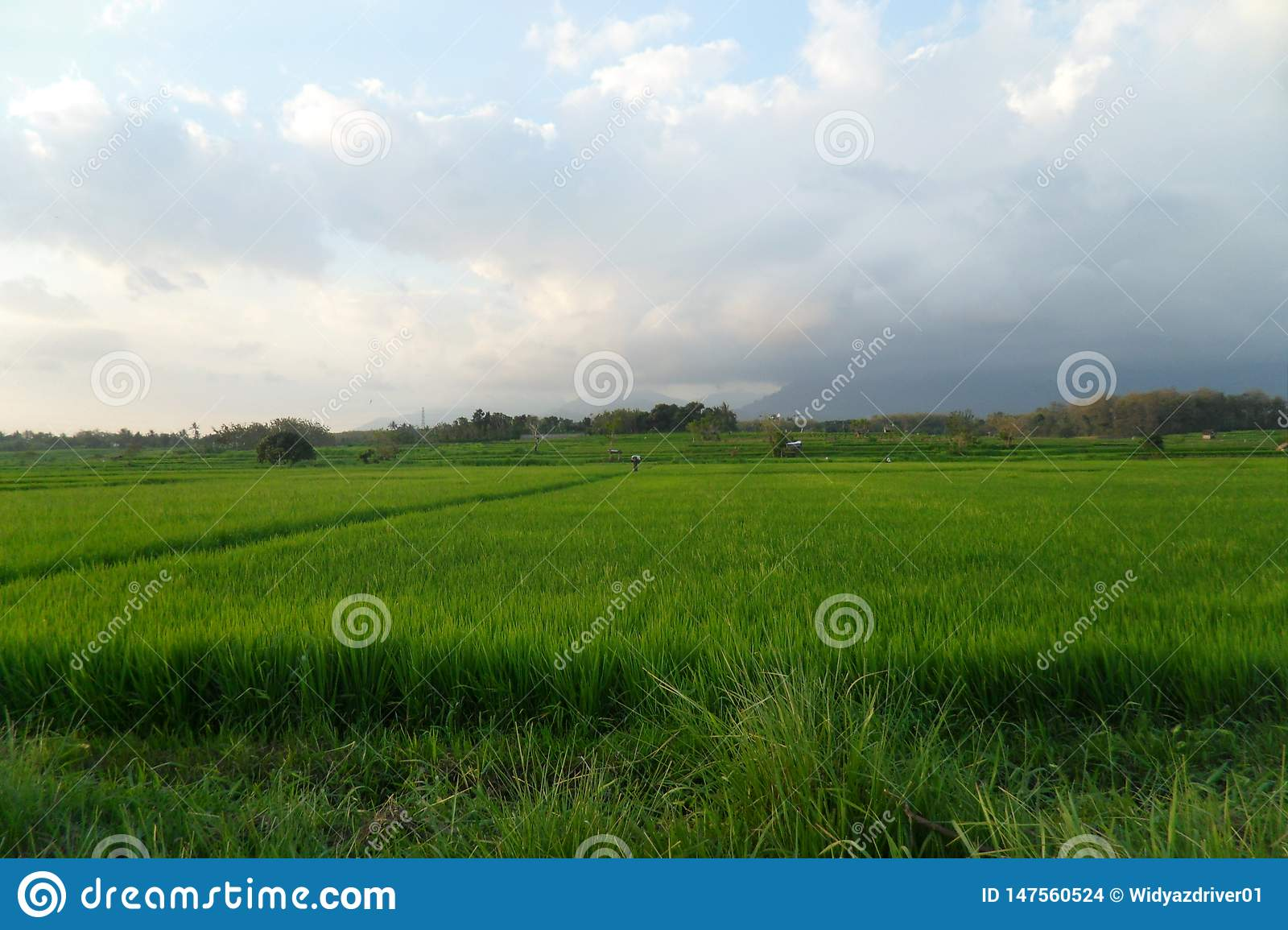 Green rice fields bring happiness