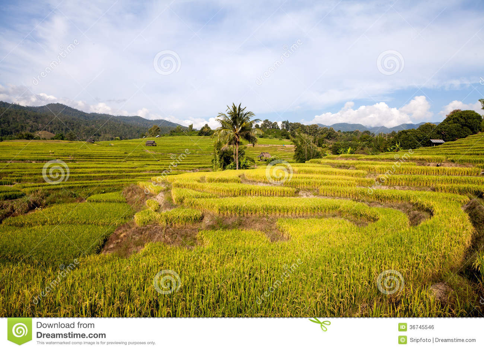 Green rice paddy field stock photo. Image of husk ...