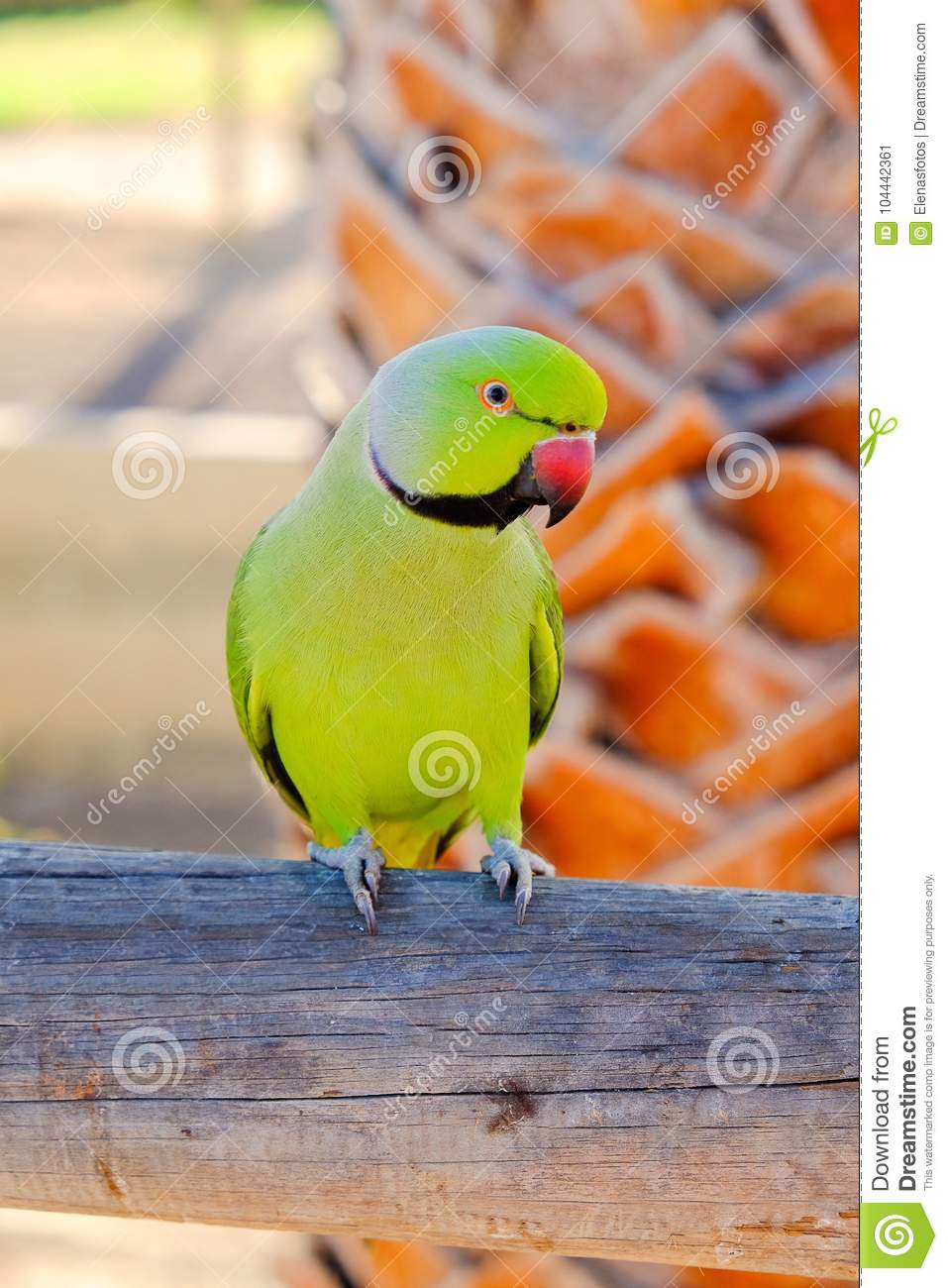 Green ring-necked parrot on the Canary Island of Fuerteventura,