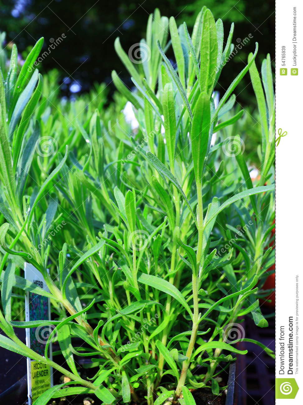 Green rosemary herb plants royalty free stock photo for Green plants for landscaping