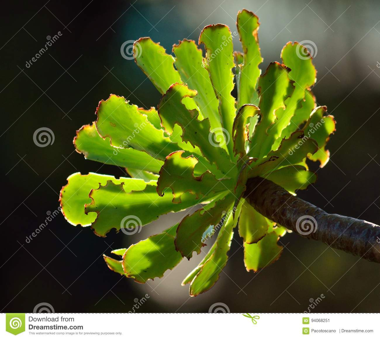 Green rosette of aeonium