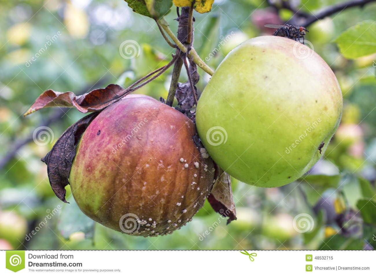 the pomaceous fruit of the apple {malus sieversii – apple tree} the apple tree originated in central asia, where its wild ancestor, malus sieversii, is still found today the apple is the pomaceous fruit of the apple tree in the rose family, rosaceae.