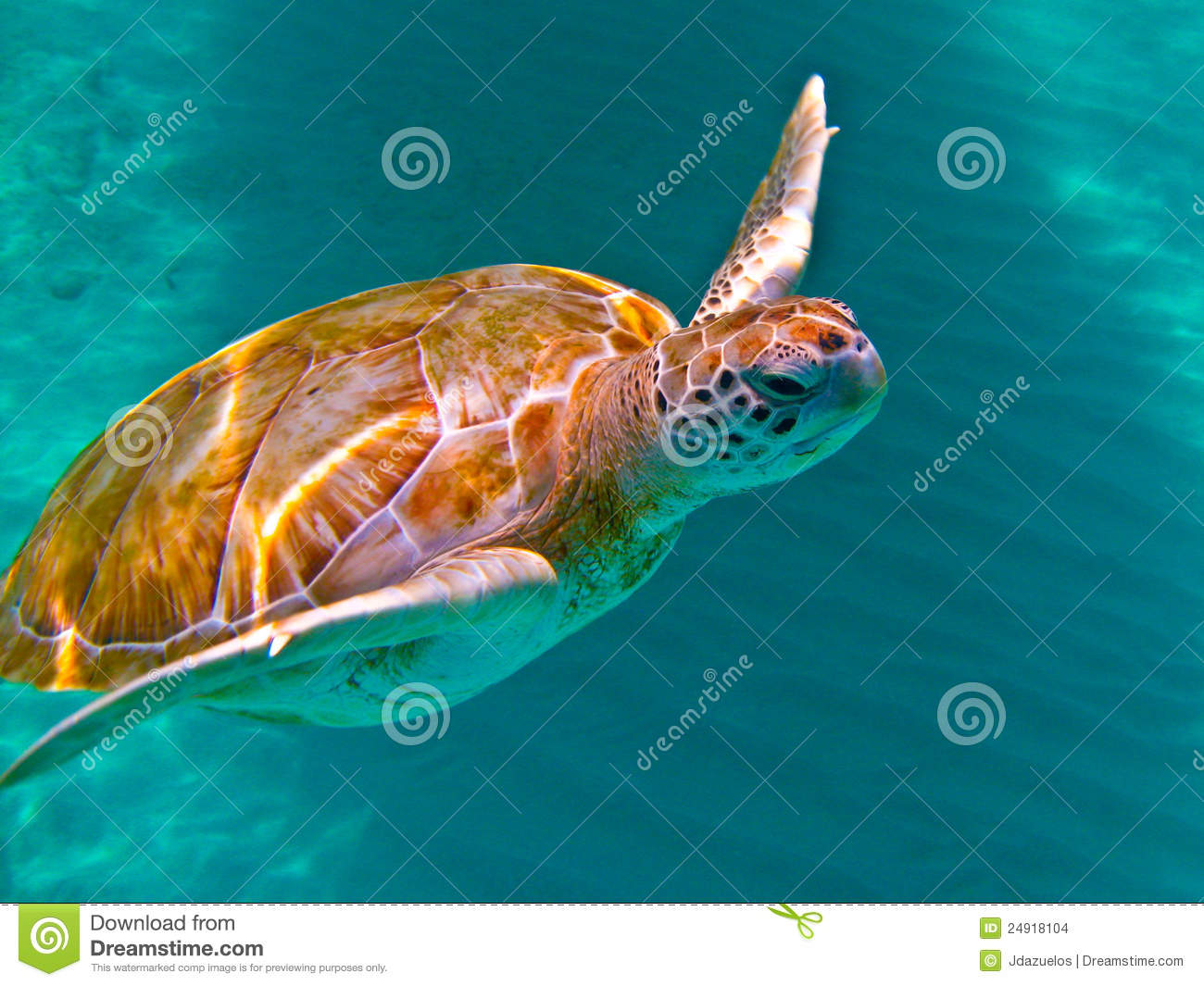 Download Green Sea Turtle stock photo. Image of hawaii, honu, maui - 24918104