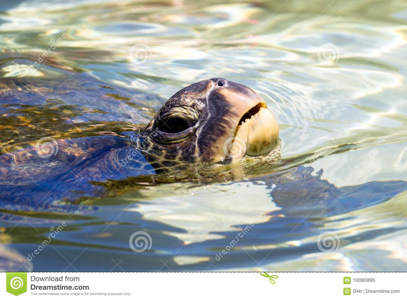 Green Sea Turtle Chelonia Mydas Stock Image