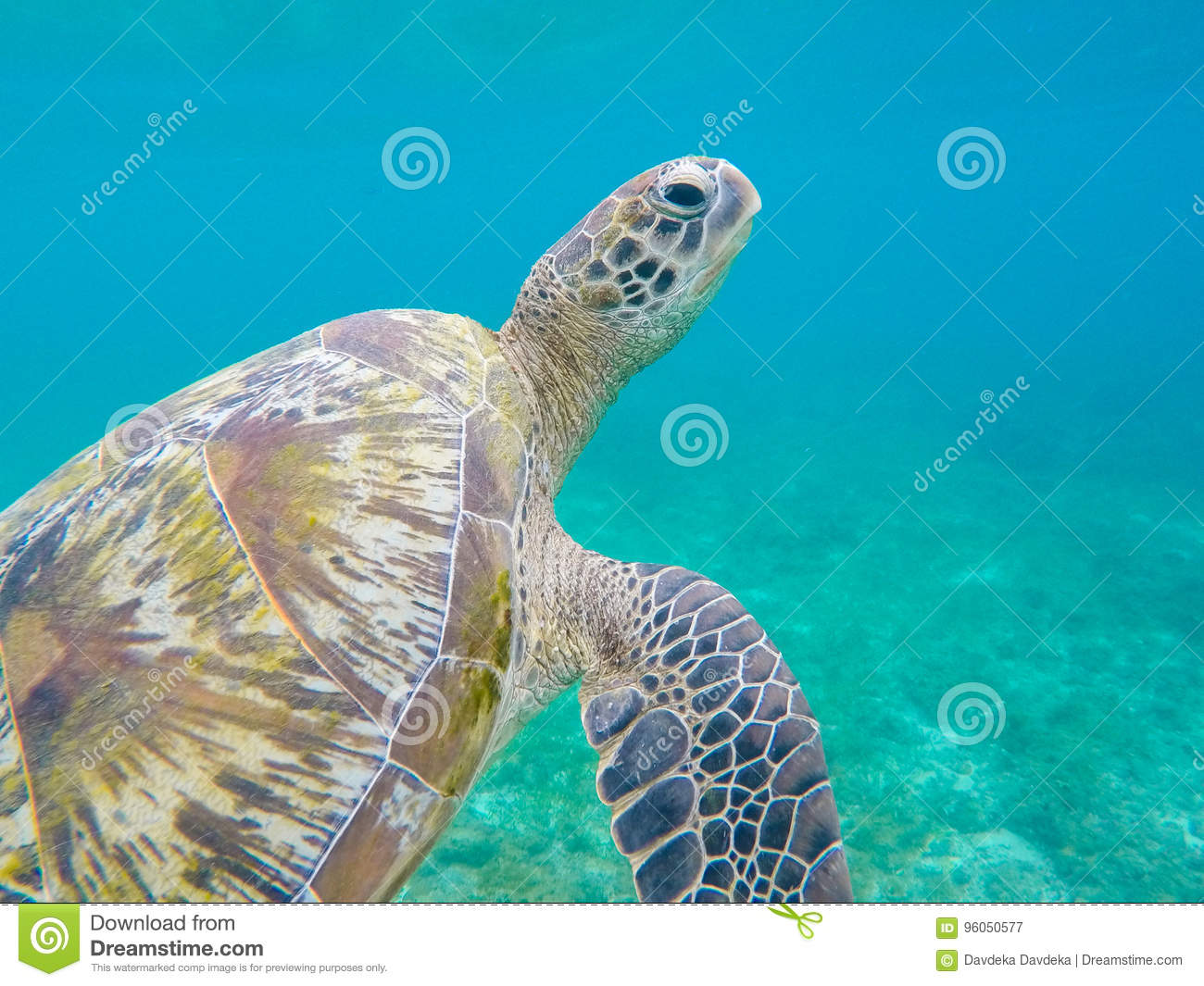 Green Sea Turtle Closeup In Shallow Sea Water. Sea