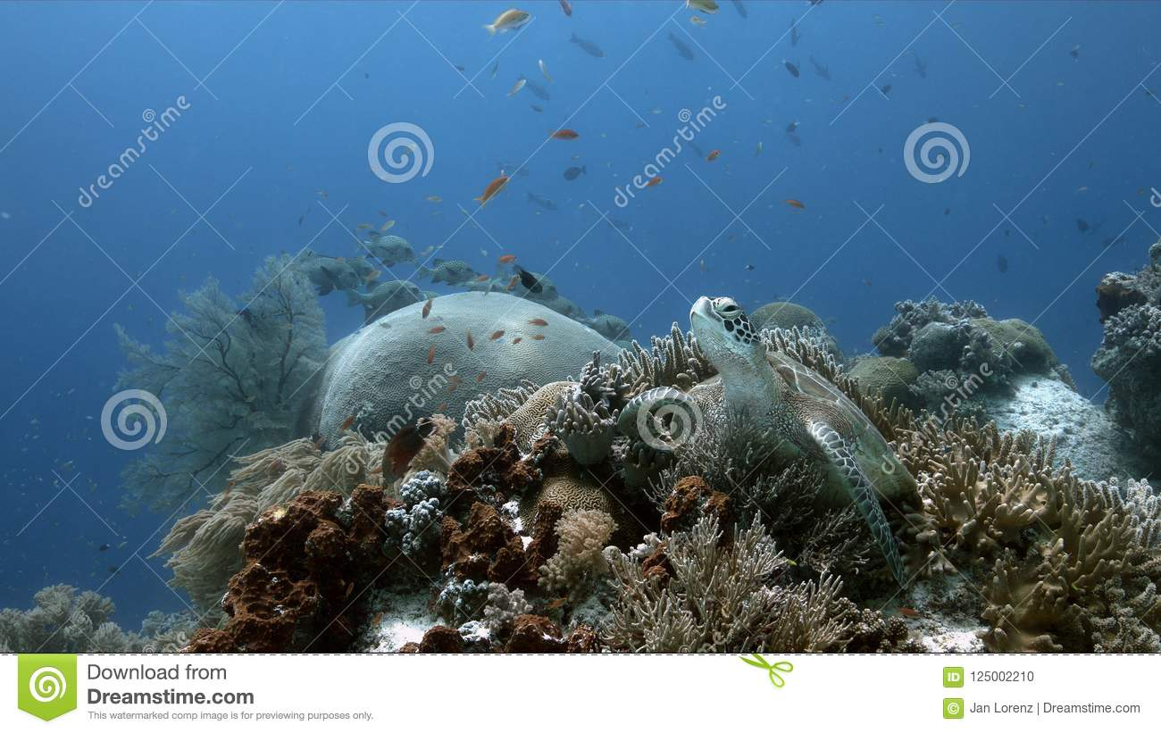 Green Sea Turtle on a coral reef with Anthias and Sweetlips