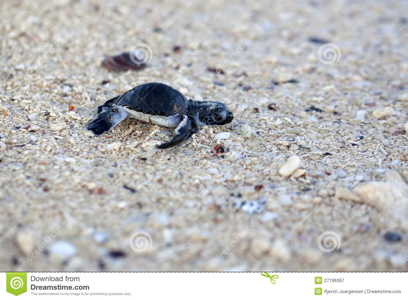 Green Sea Turtle Hatchling making its first steps from the beach to ...: dreamstime.com/royalty-free-stock-photography-green-sea-turtle...
