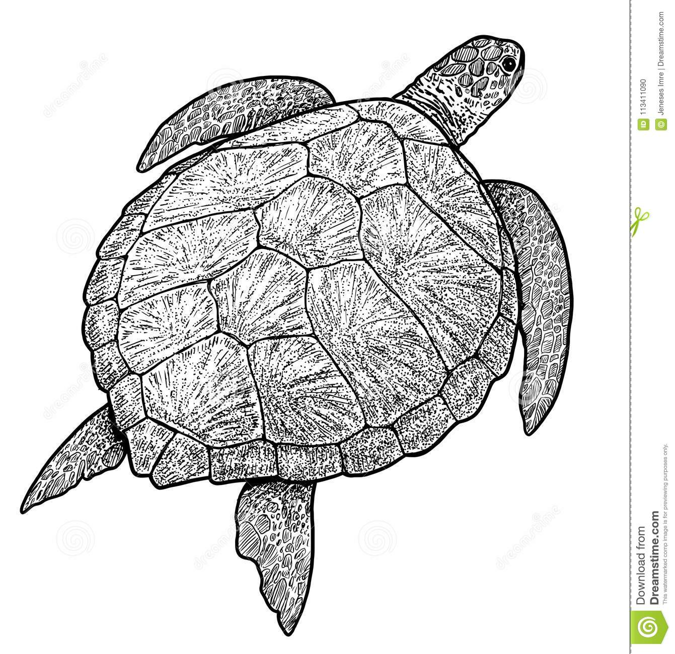 Drawing Red Lines With Green Ink : Ink pencil sea turtle drawing pictures picturesboss
