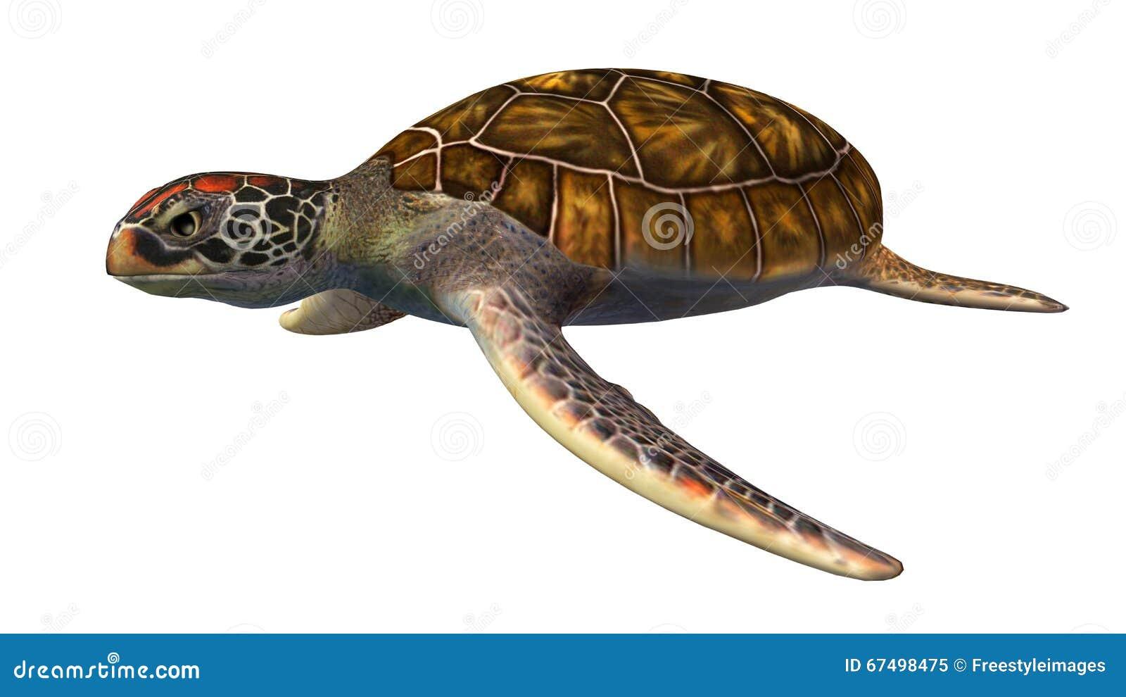 turtle white background - photo #38