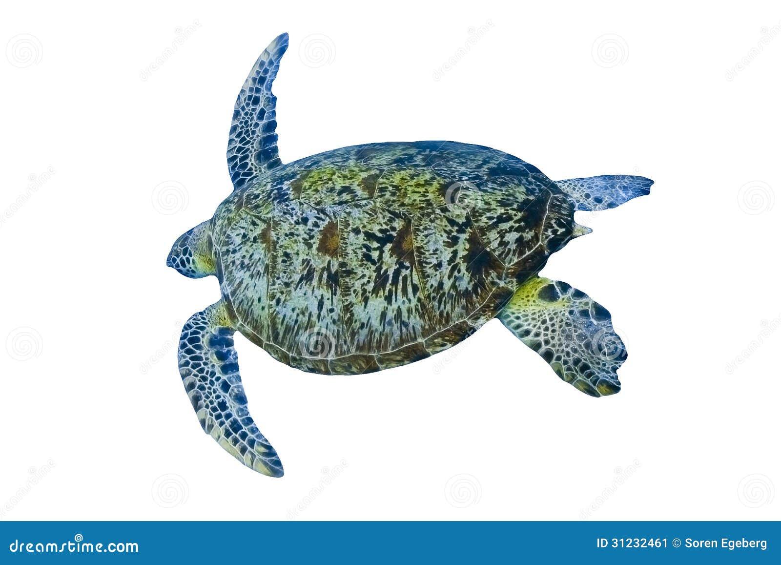 turtle white background - photo #37
