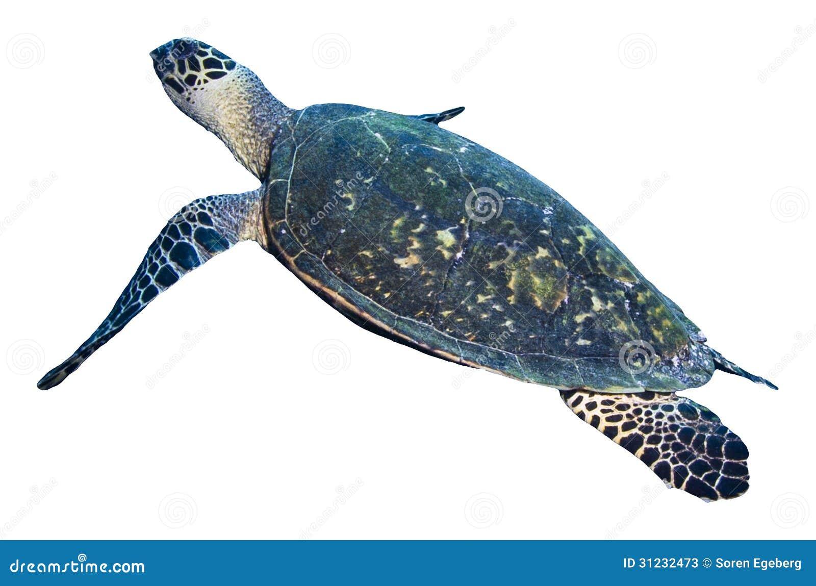 turtle white background - photo #22