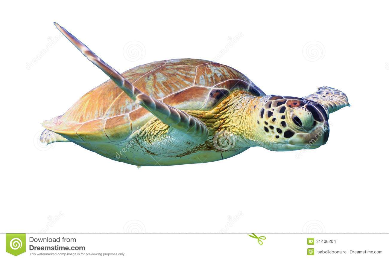 Green Sea Turtle Isolated On White Background Stock Images - Image ...
