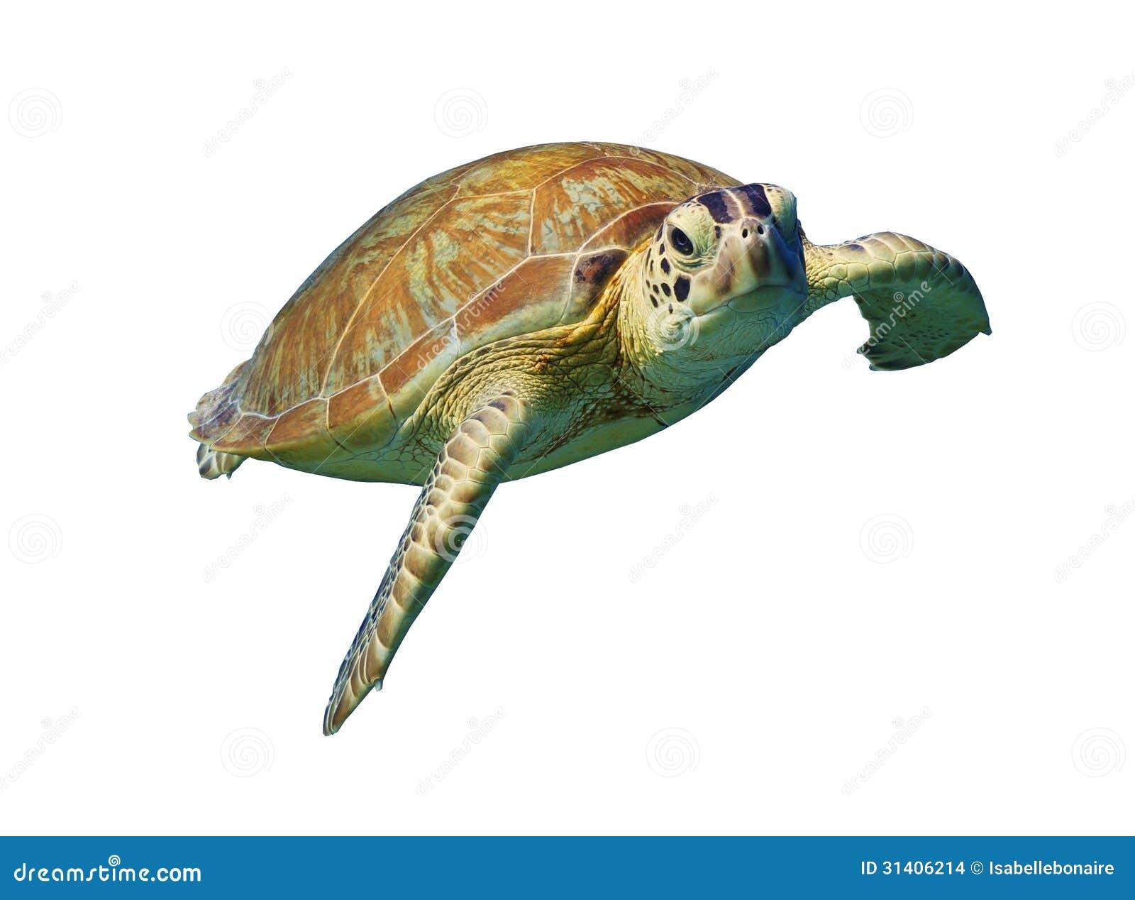turtle white background - photo #40