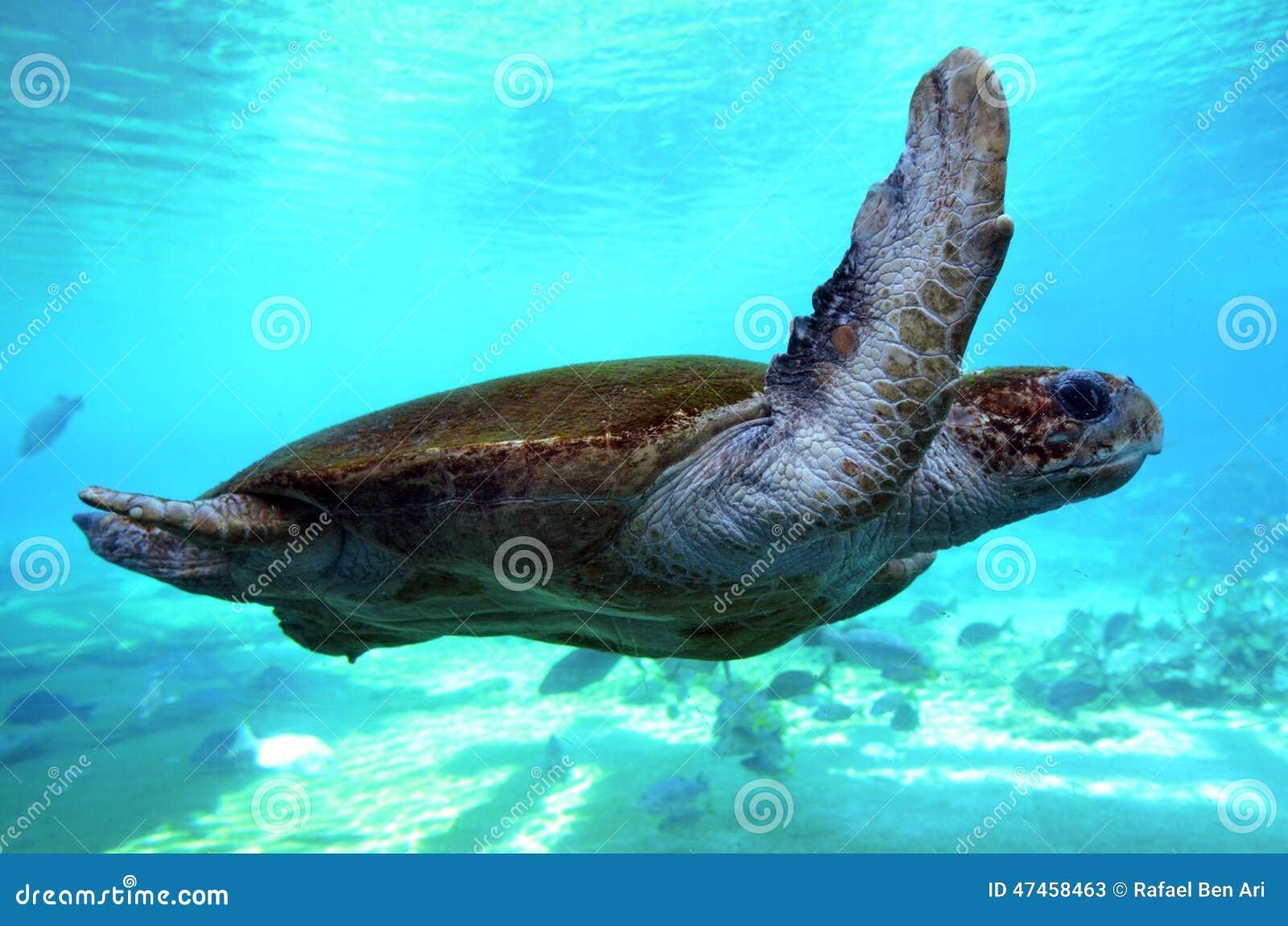 Green sea turtle Queensland Australia