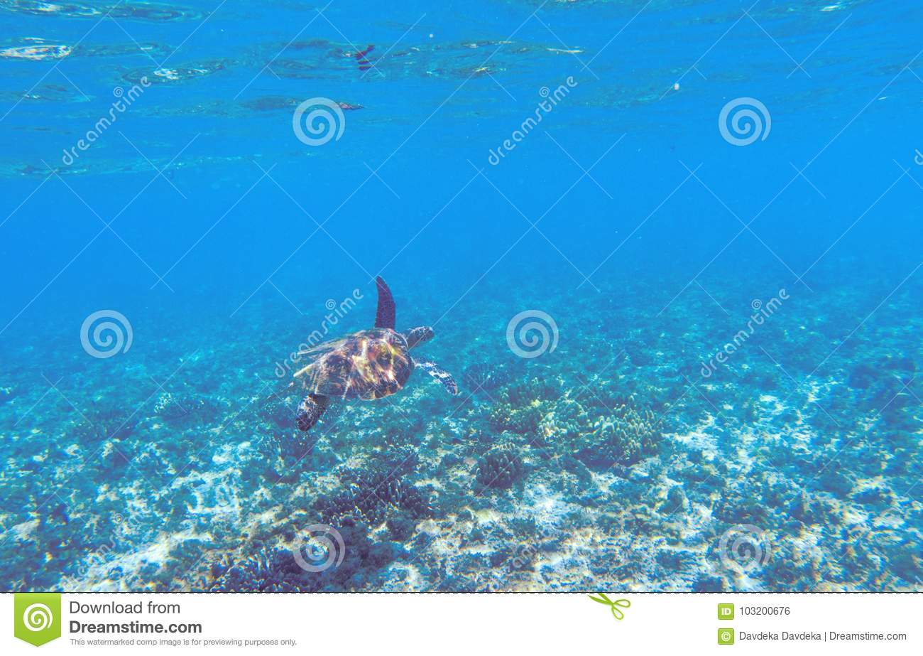 Green Sea Turtle In Shallow Seawater. Tropical Nature Of