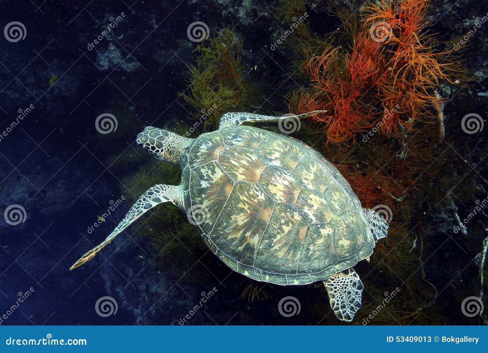 Download Green Sea Turtle, Sipadan Island, Sabah Stock Image - Image of reef, malaysia: 53409013