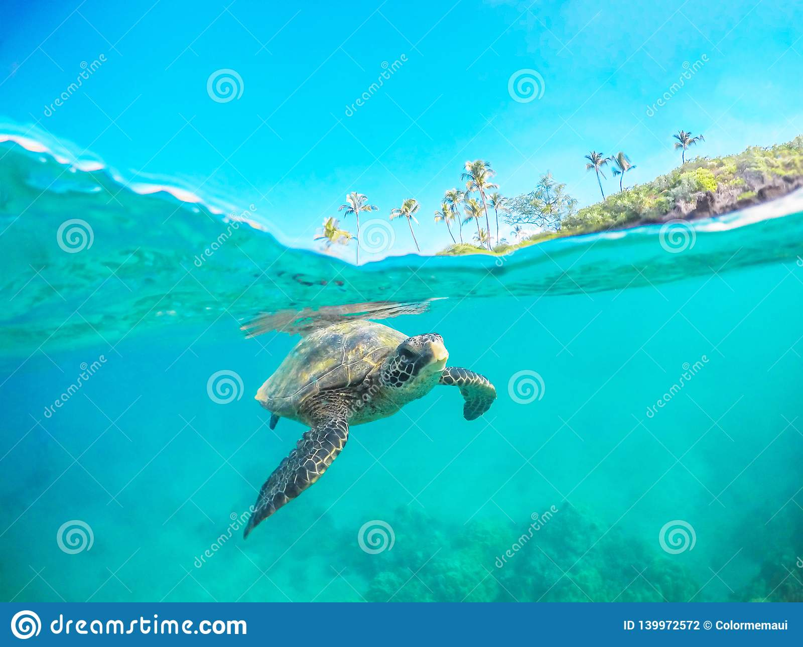 Green Sea Turtle Split Shot Swimming in Maui Hawaii