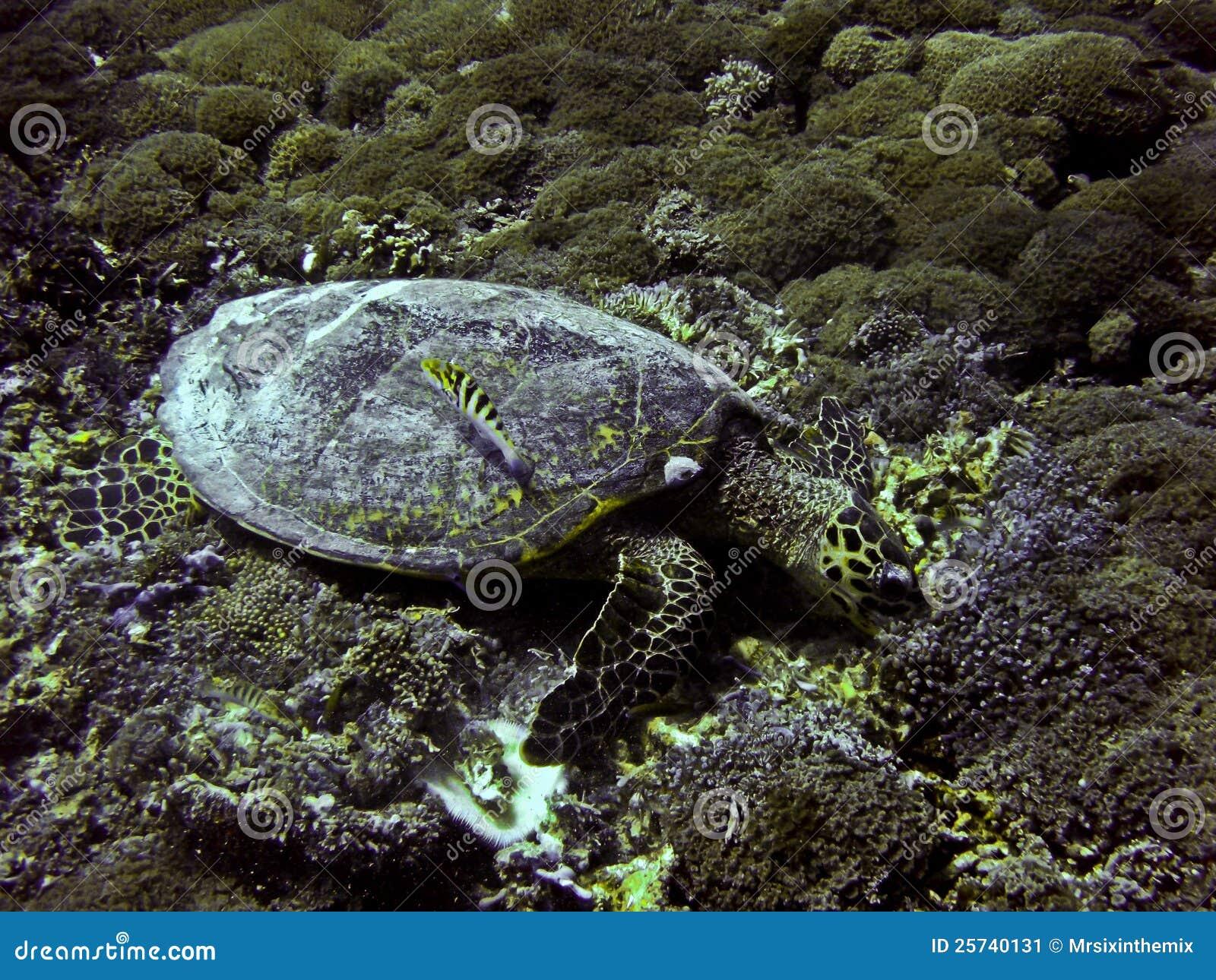 Green sea turtle underwater on Gili Trawangan