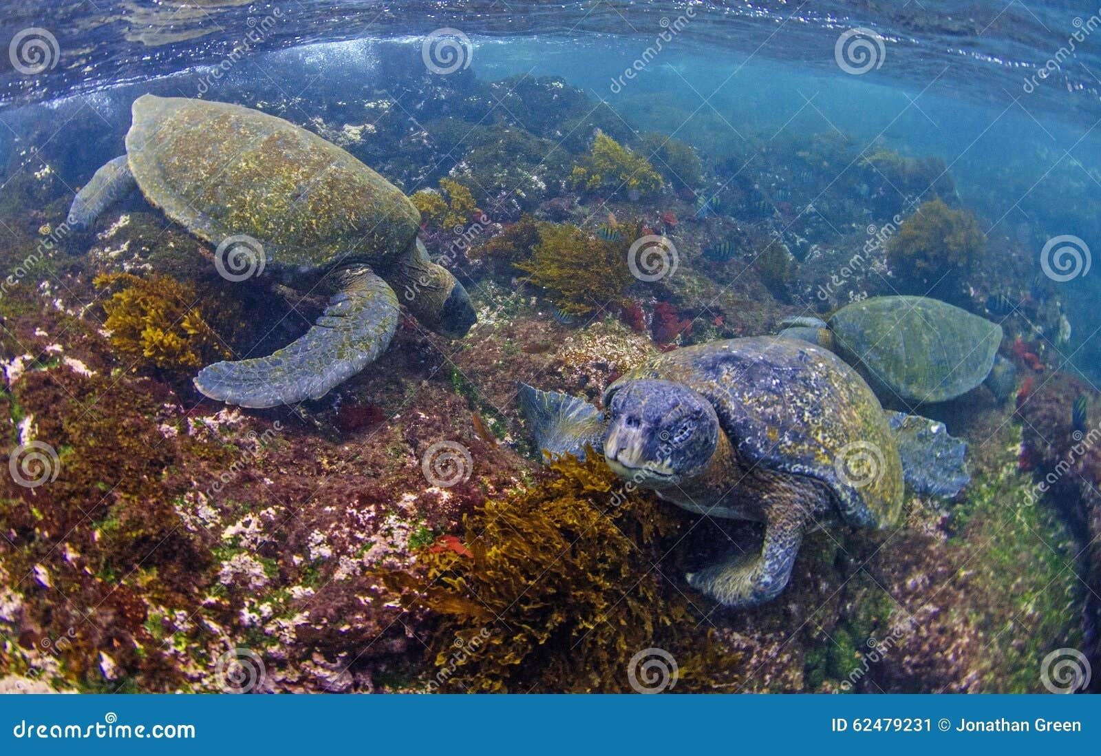 Green sea turtles feeding, Galapagos Islands