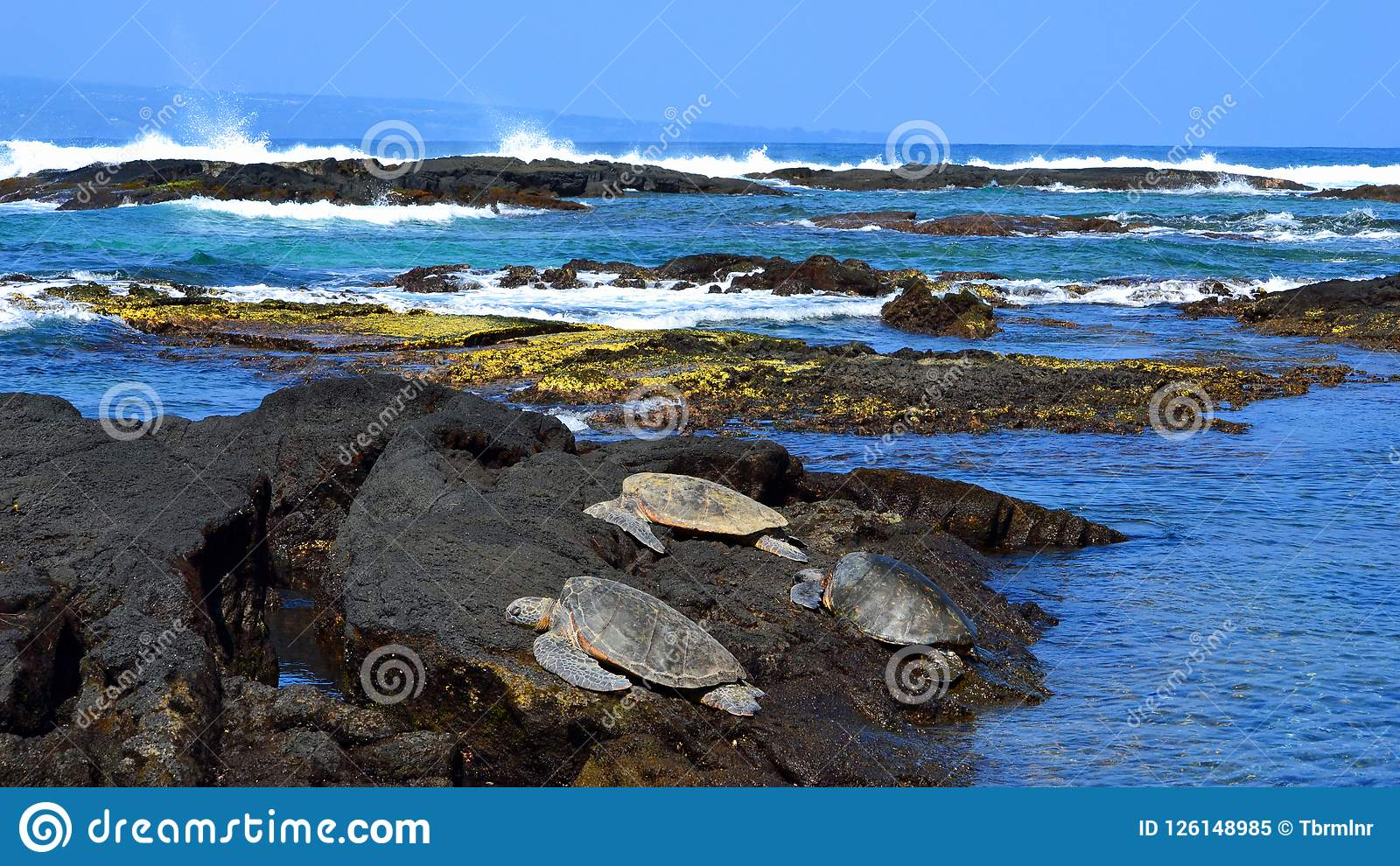 Green sea turtles resting on rocks in Hawaii panoramic wide image