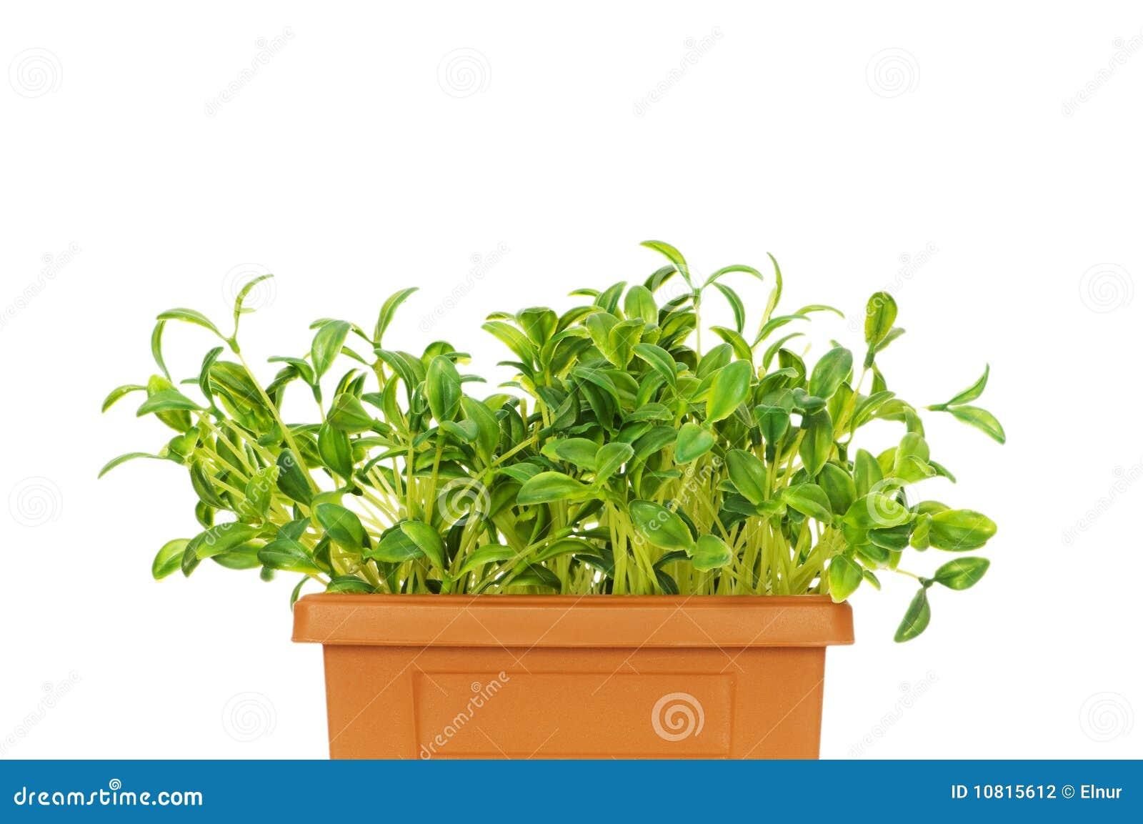 Green seedlings growing
