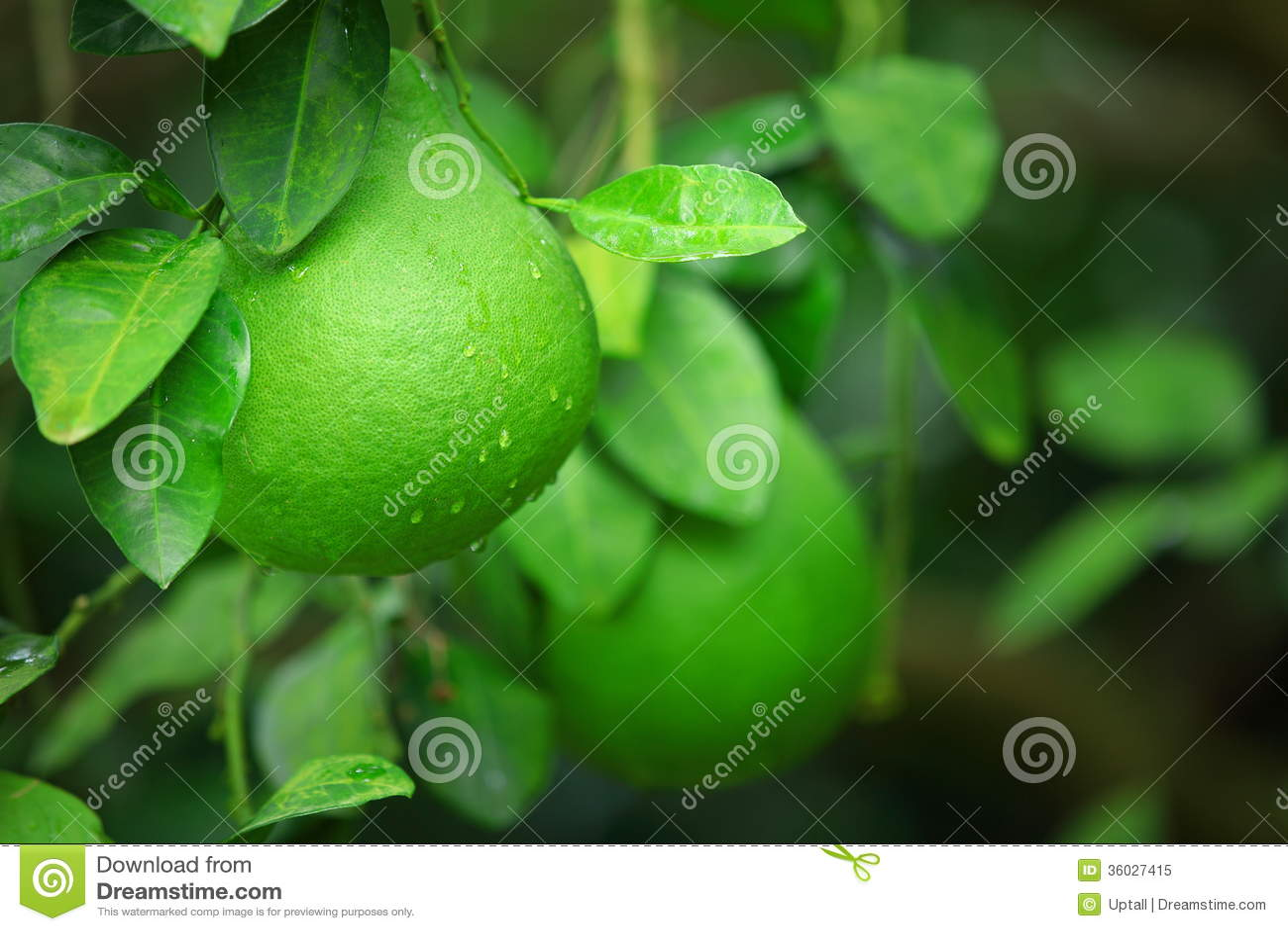 Green shaddock fruit stock image. Image of fresh ...