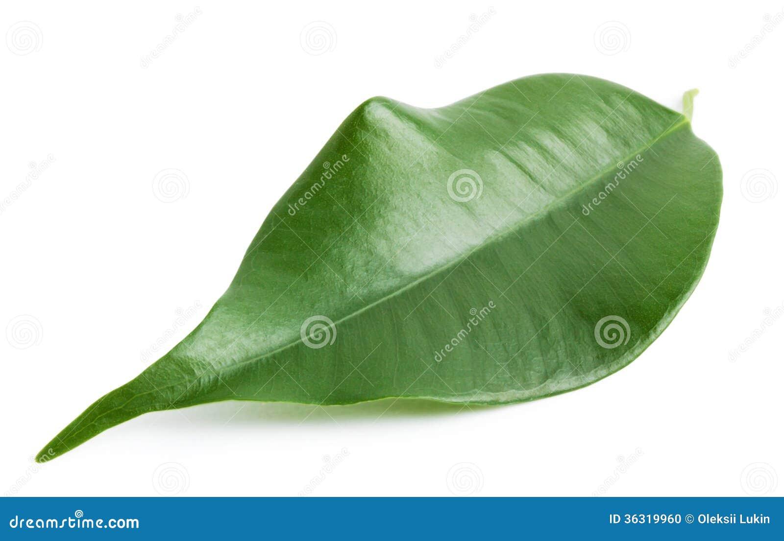 Green shiny orange leaf stock photo image 36319960 for Amber leaf