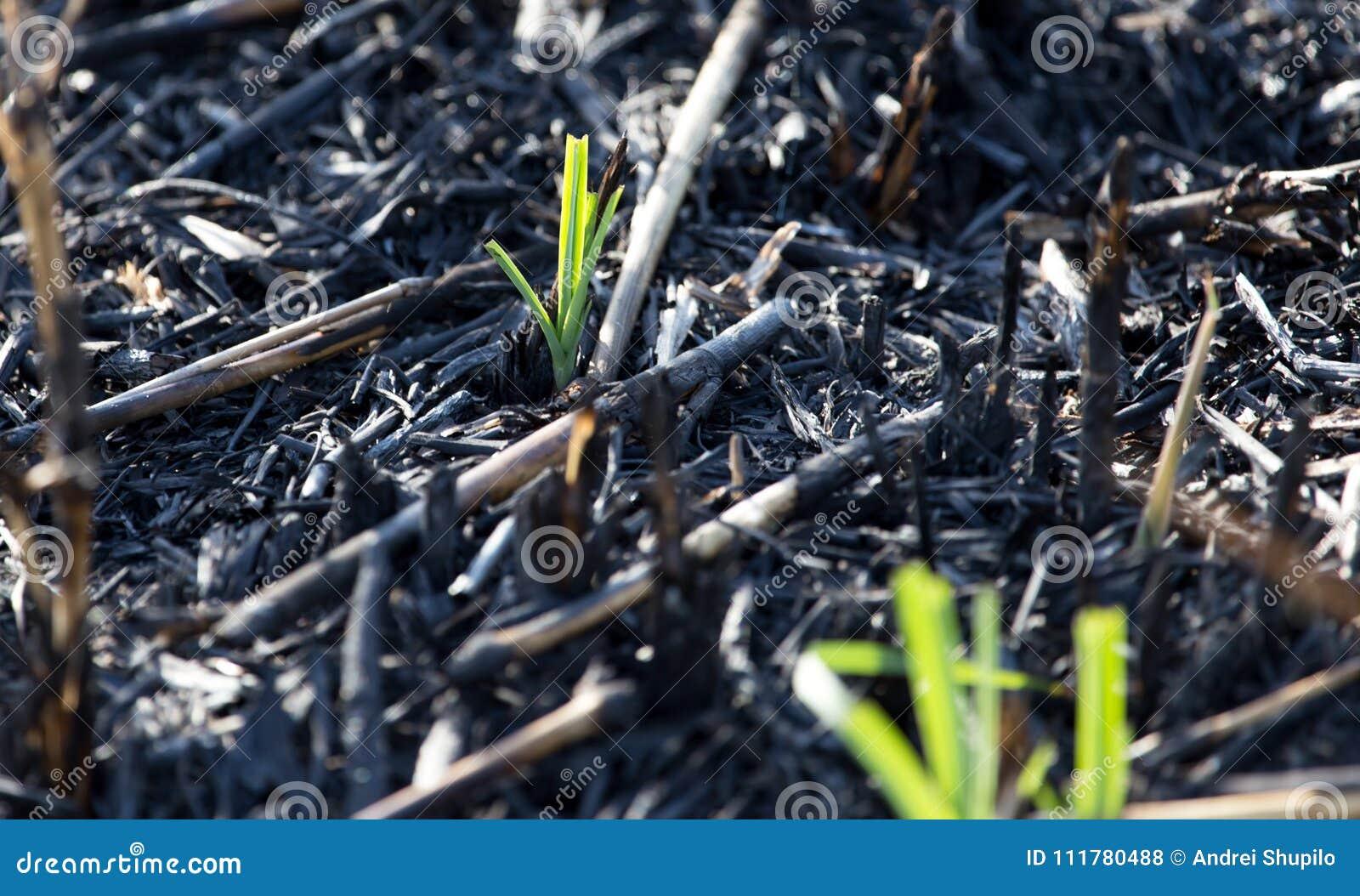 Green shoots after a fire