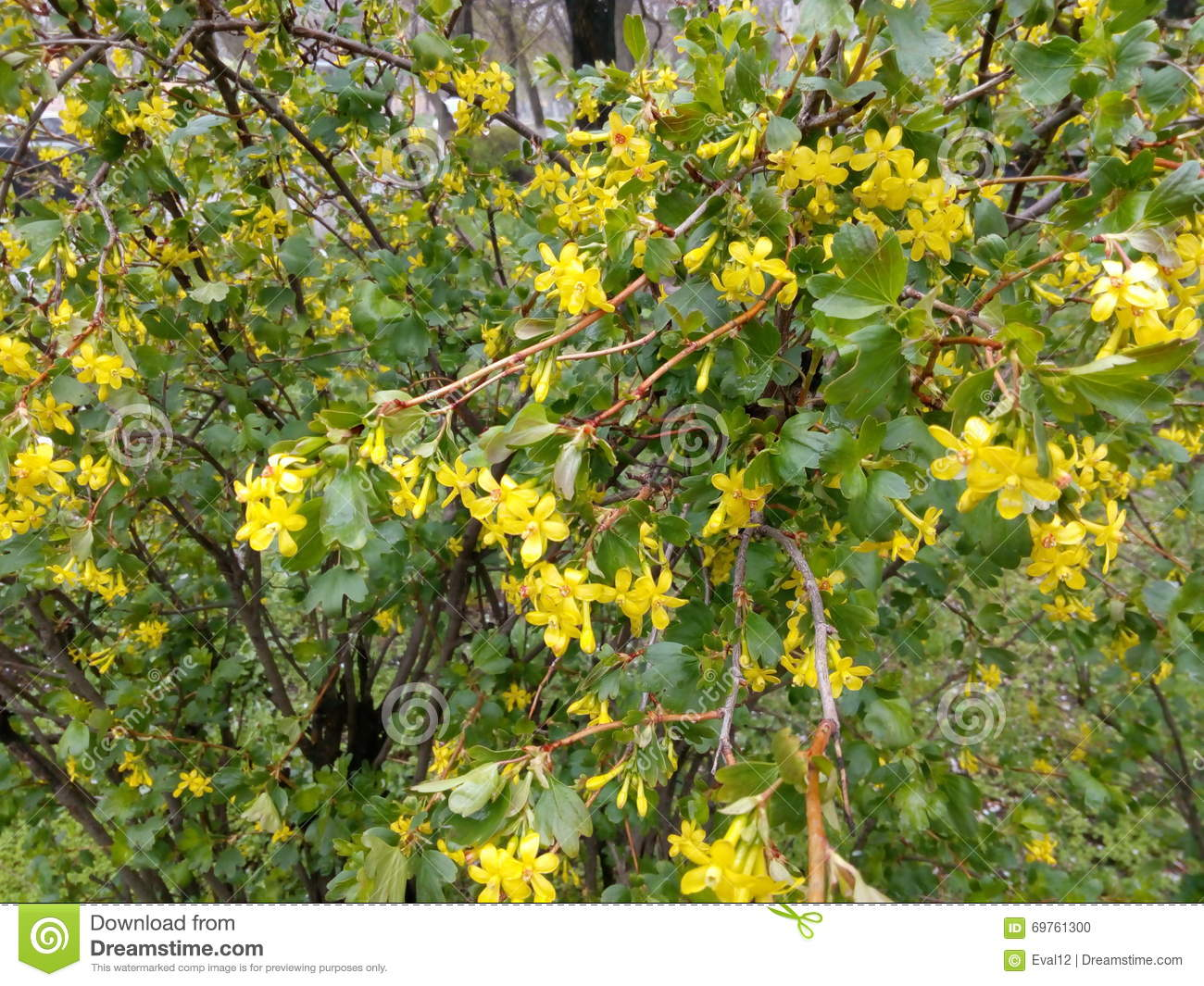 Green Shrub With Small Yellow Flowers Stock Photo Image Of Flora