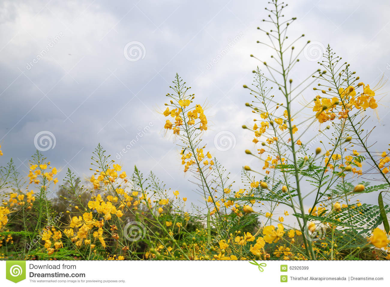 Green shrub with yellow flowers stock photo 62926399 megapixl mightylinksfo