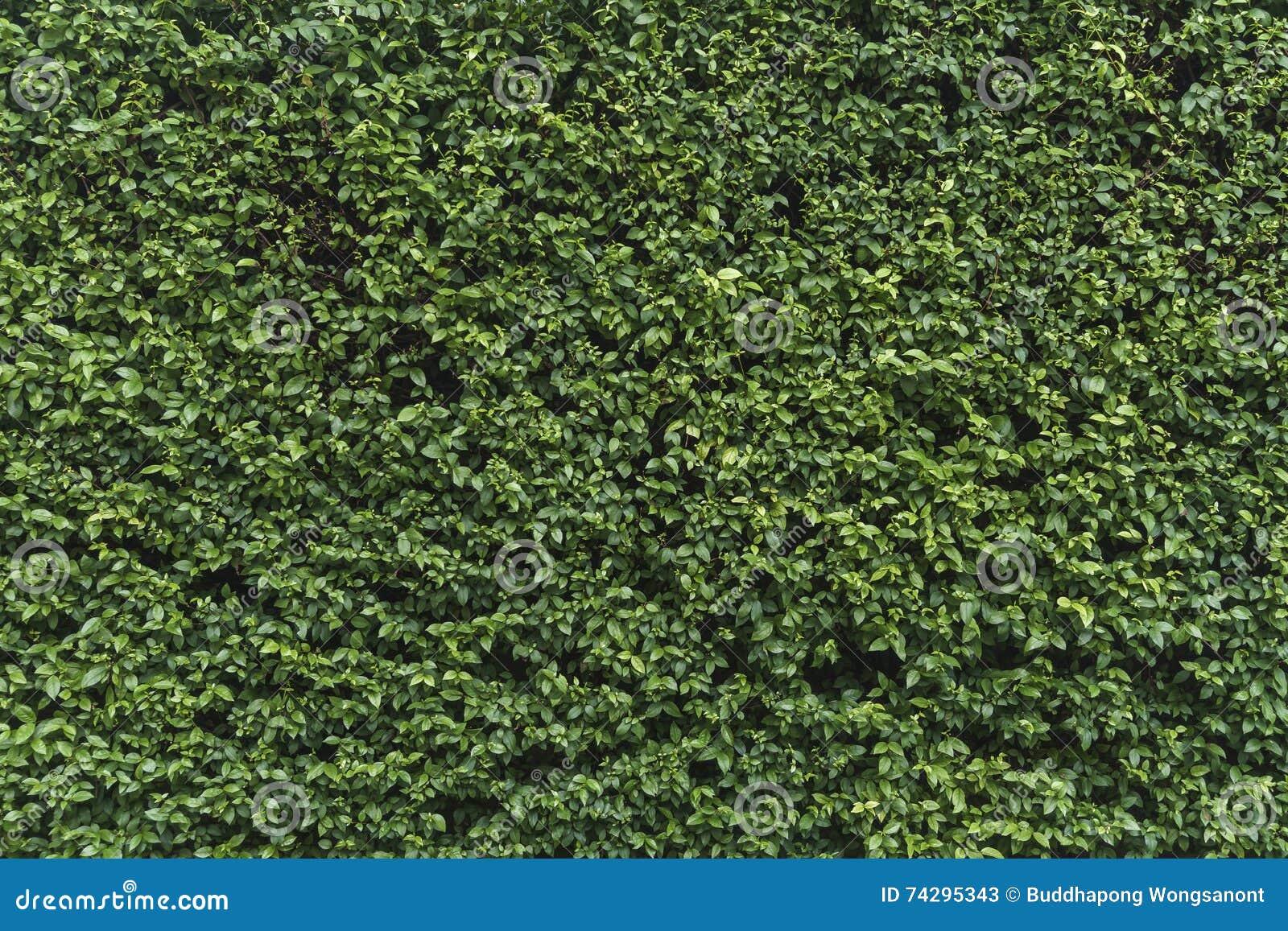 Green shrubbery wall.