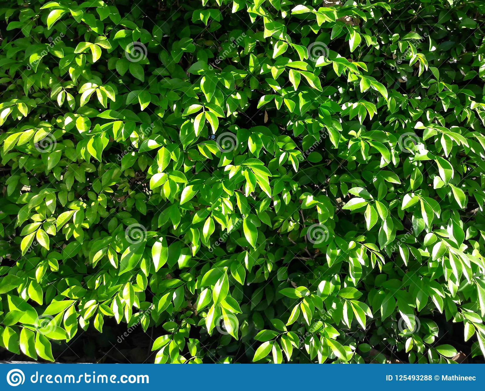 Green shrubs. Many green leaves are combined into a bush.