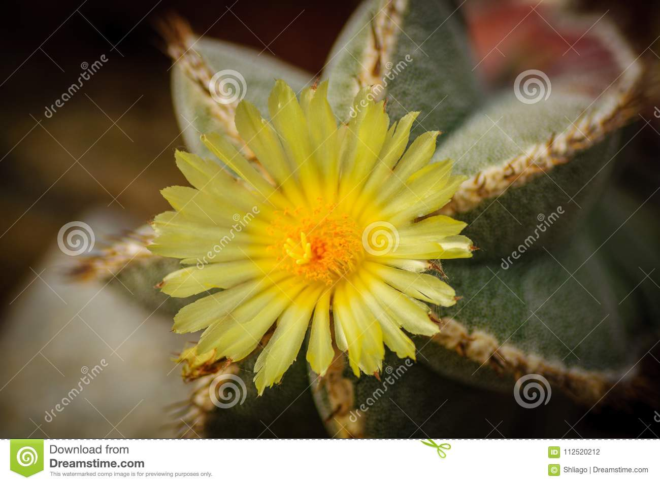 Green With Silver Dots Cactus Astrophytum With Yellow Flower Blossom