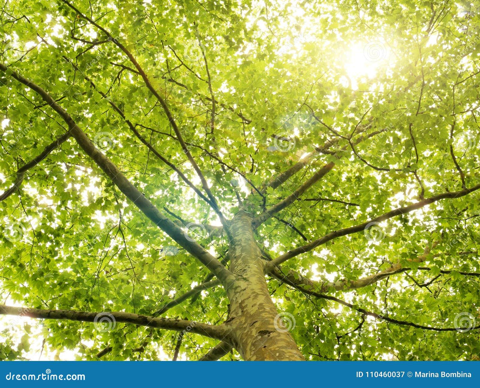 Green skogtrees Naturbakgrund med solljus i trädfol