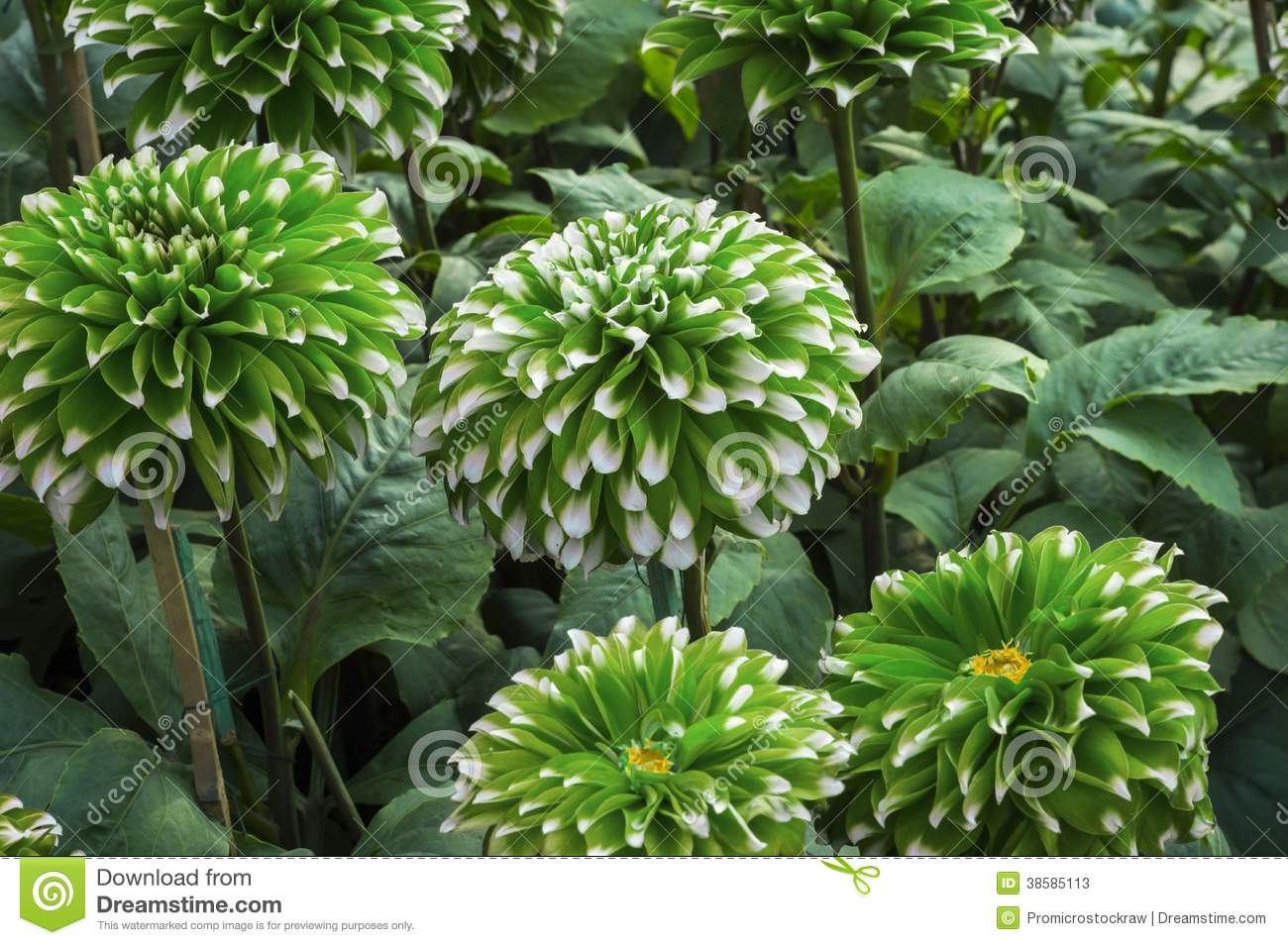 Green small dahlia flowers stock image image of pink for Green plants for garden
