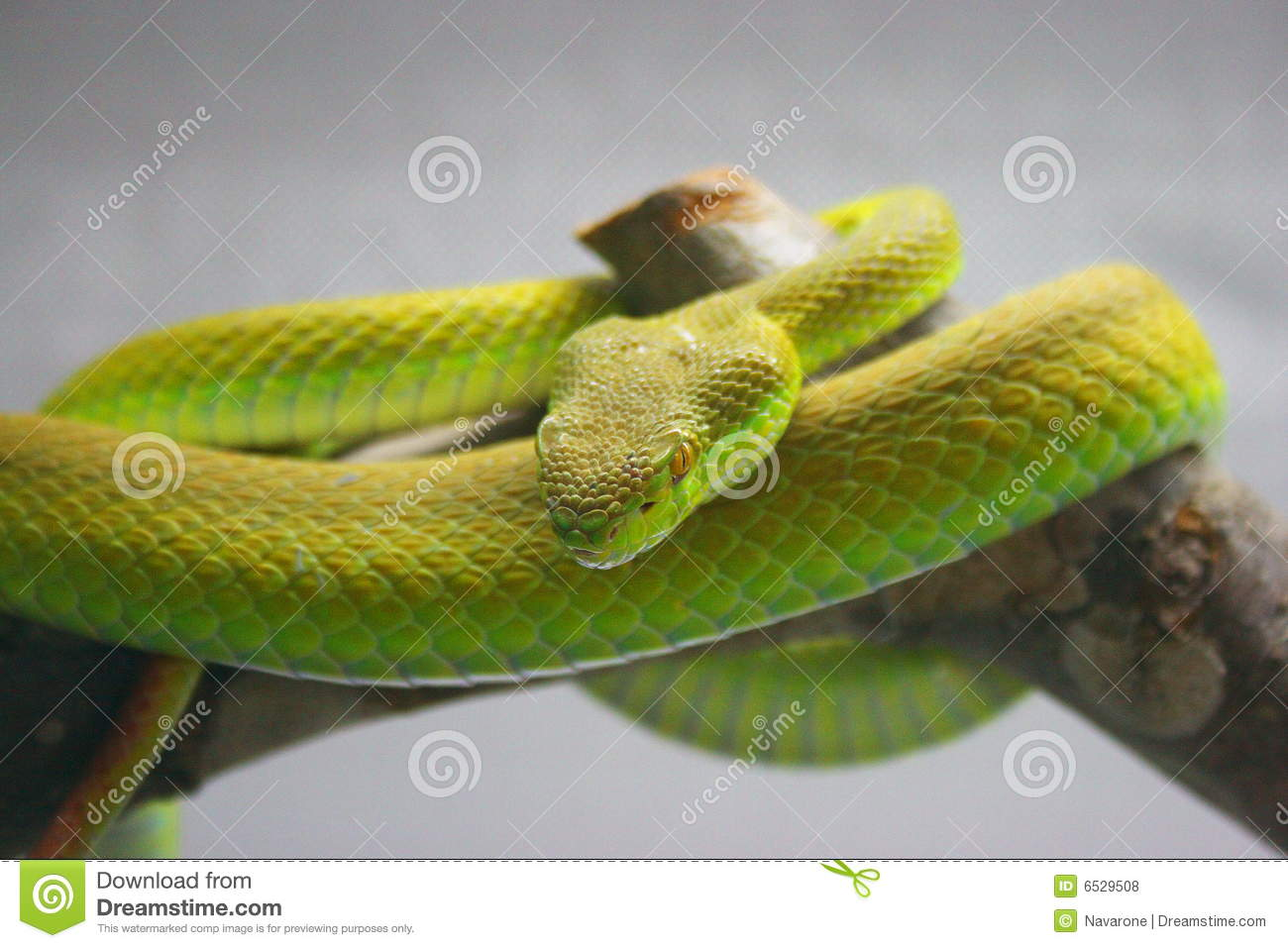 green snakes branches snake - photo #36