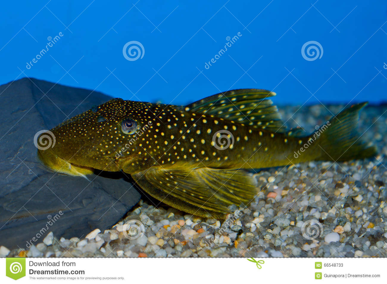 Green spotted phantom pleco fish stock image image 66548733 for Aquarium sucker fish
