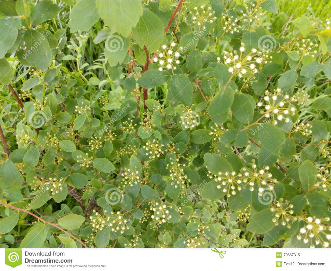 Green spring bush with small leaves and white flowers stock image green spring bush with small leaves and white flowers mightylinksfo