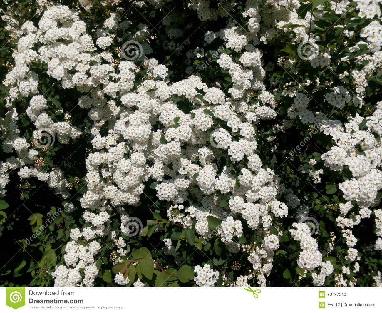 Green spring bush studded with small white flowers stock photo green spring bush studded with small white flowers mightylinksfo