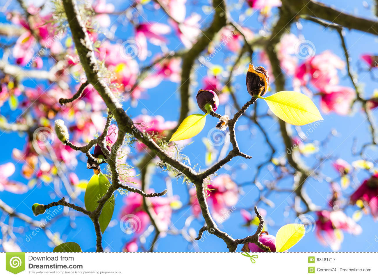 Green spring leaves on deciduous magnolia tree with pink flowers download green spring leaves on deciduous magnolia tree with pink flowers stock image image of mightylinksfo