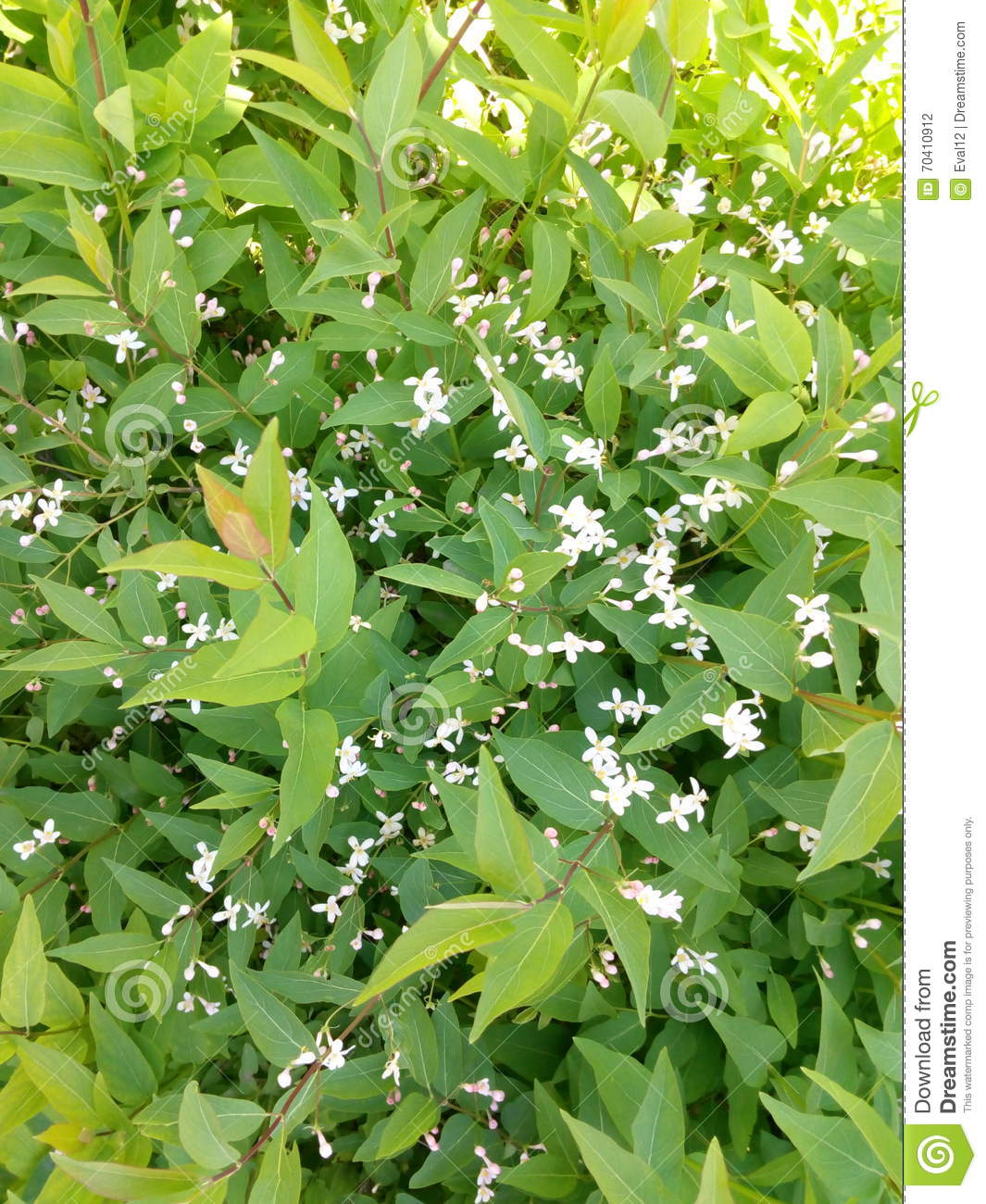 Green Spring Shrub With Small White Flowers Stock Photo Image Of