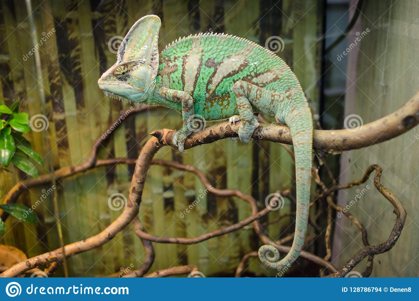 Green striped chameleon sits on a branch