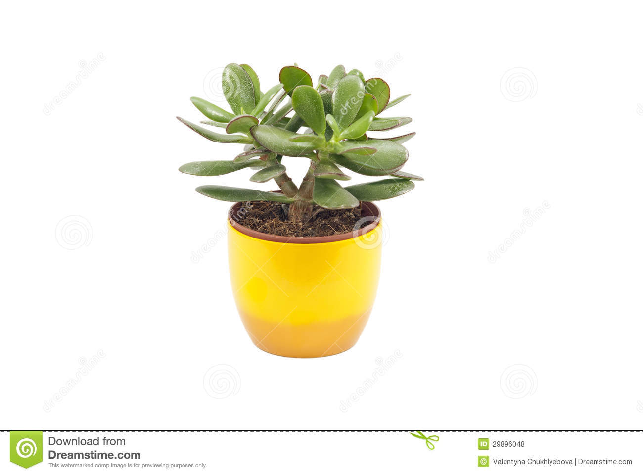 Apartment bathroom themes - Green Succulent Plant In The Yellow Pot Isolated On White Background