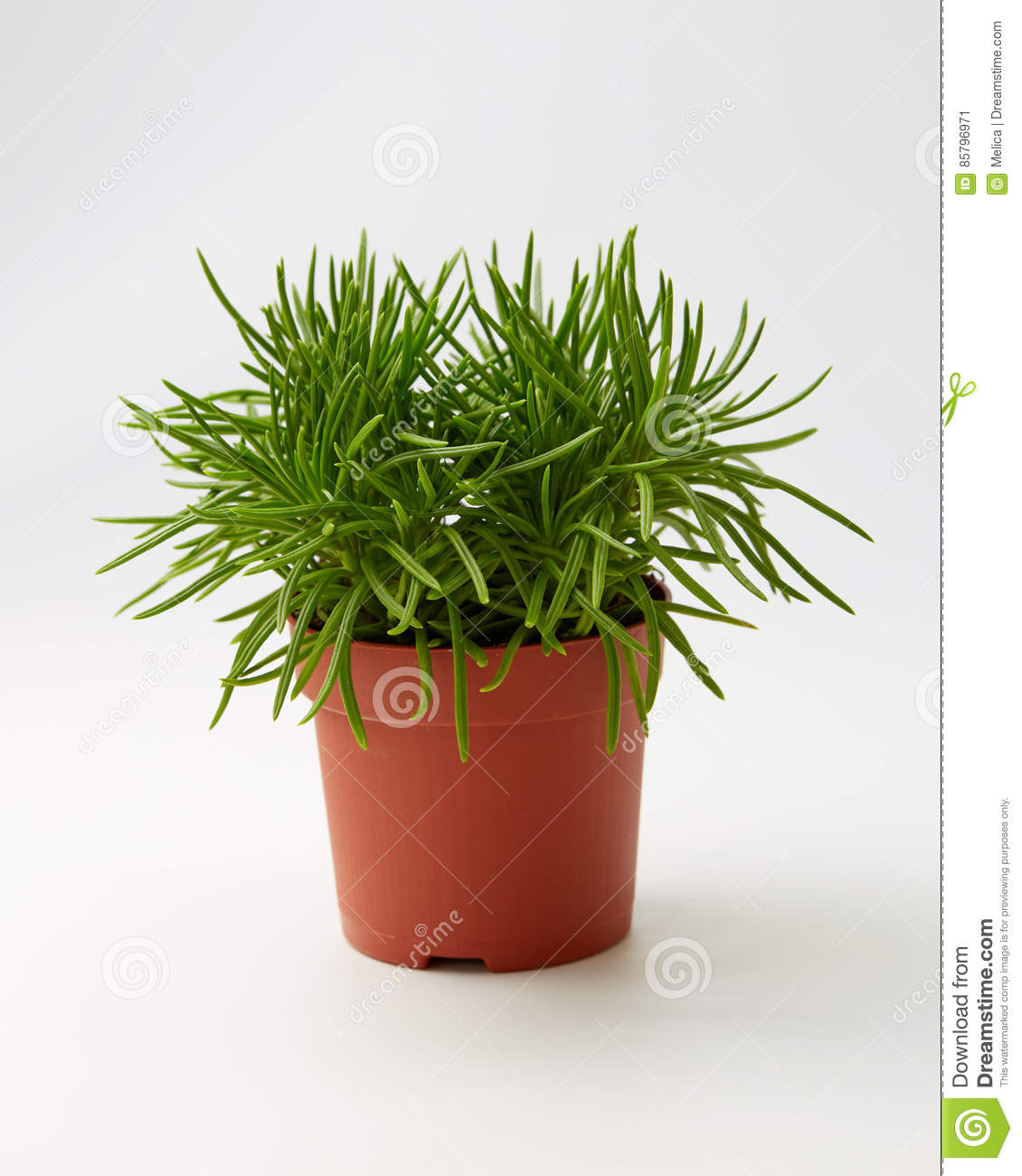 green succulent senecio senecio himalaya stock image. Black Bedroom Furniture Sets. Home Design Ideas