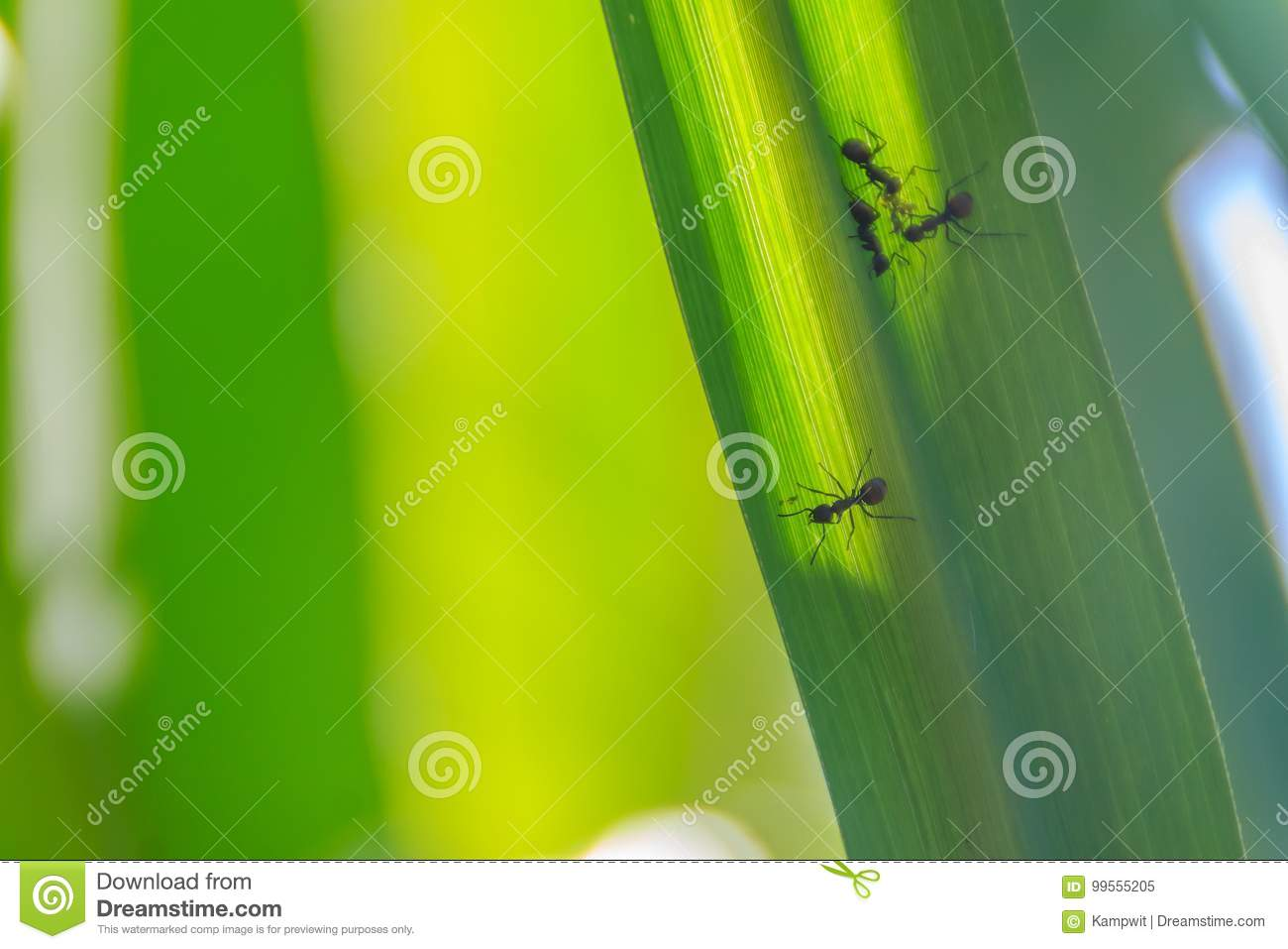Green sugarcane leaf background with black small ants and select