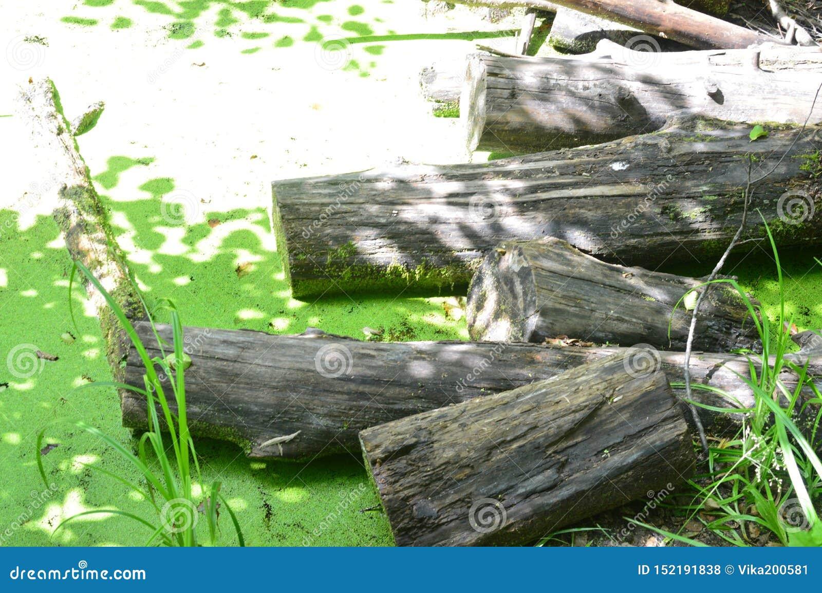 Green swamp marshland landscape. Beaver platinum. Swamp trees bog backwater view