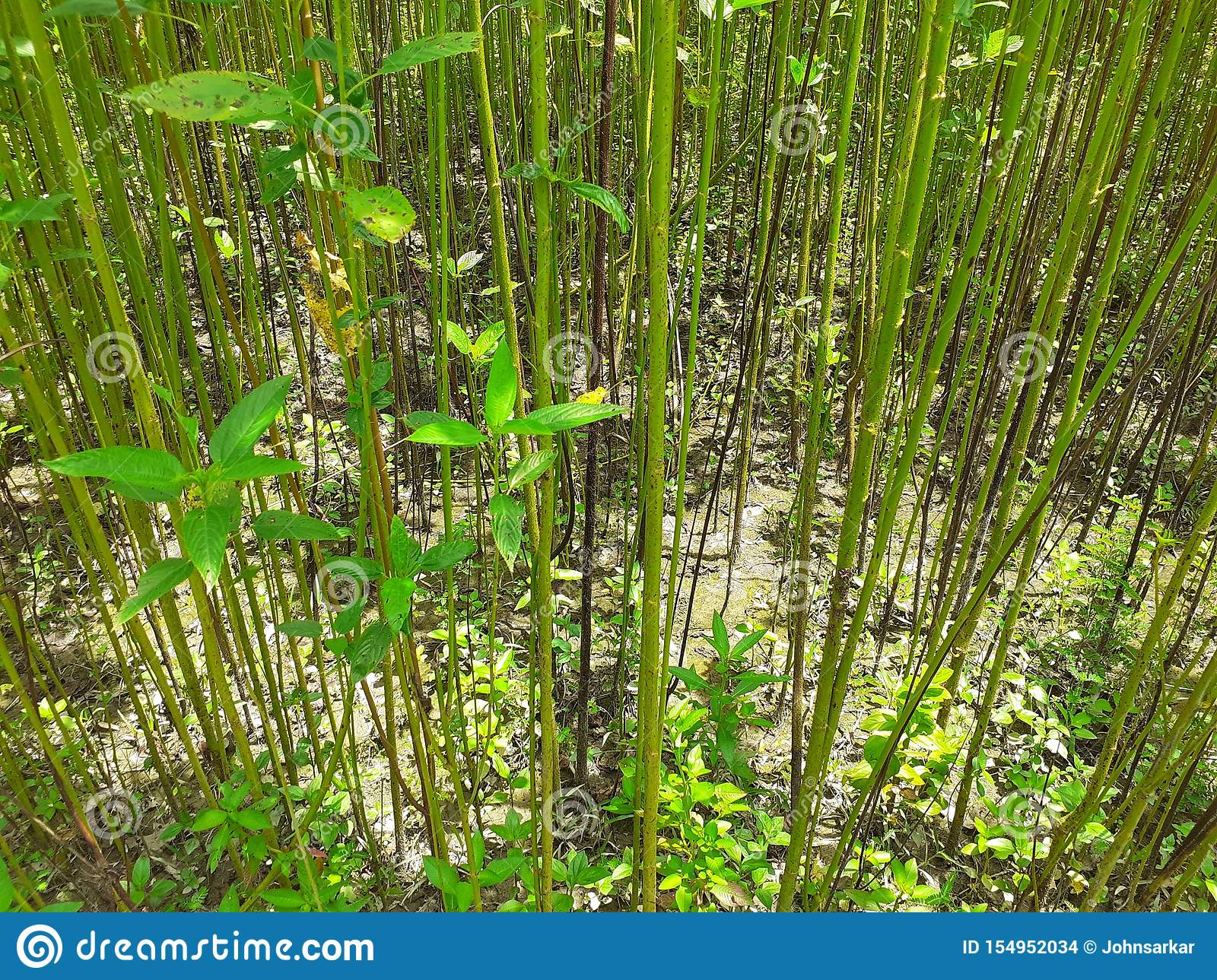 Green and tall Jute plants. Jute cultivation in Assam in India